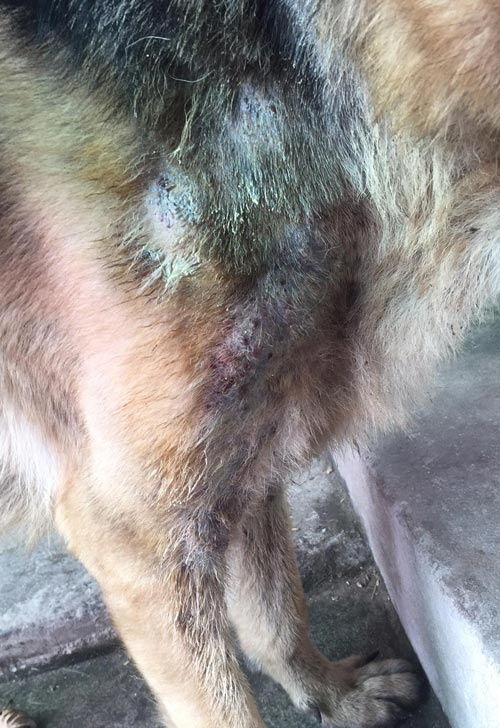 Hình ảnh 1 chú chó bị ghẻ nặng