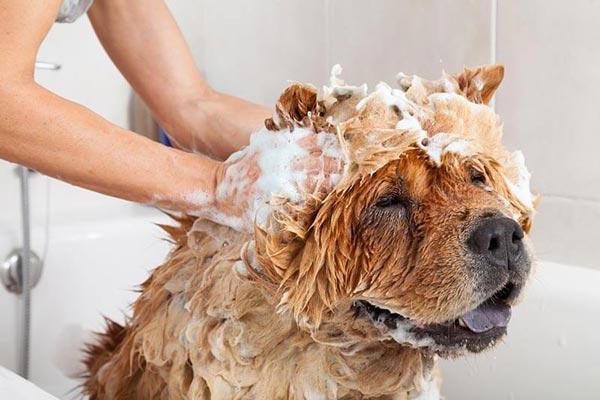 Chó bị ghẻ bạn nên tắm bằng sữa tắm trị ghẻ chuyên dụng hoặc là cây xà cừ, lá đào