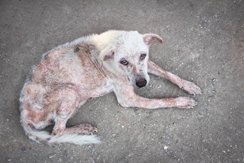 Một chú chó bị ghẻ nặng để lâu ngày không chữa sẽ bị như vậy