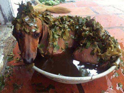 Tắm là cây xa cừ, lá chè, là đào.. là cách trị ghẻ cho chó mà người xưa thường áp dụng