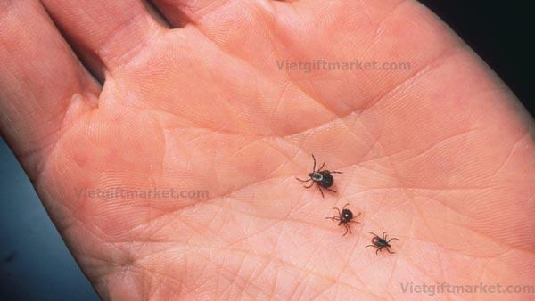 Ve chó, bọ chét có cắn người và hút máu nhưng chúng sẽ không ký sinh và sinh sản trên cơ thể người