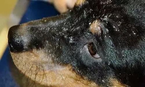 Chó bị viêm da vảy gầu thường sẽ xuất hiện rất nhiều vảy gầu trên lông và da