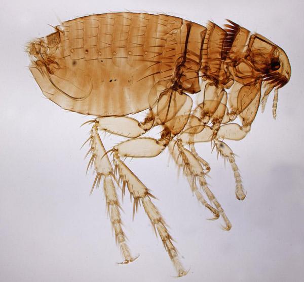 Hình ảnh bọ chét trưởng thành